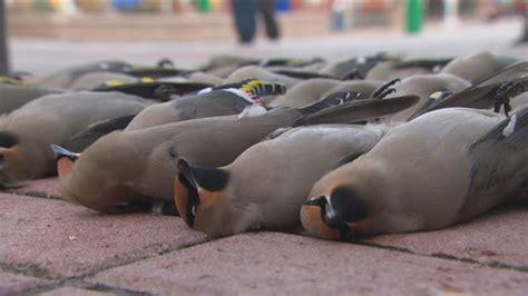 bohemian waxwings killed after striking city hall walkway
