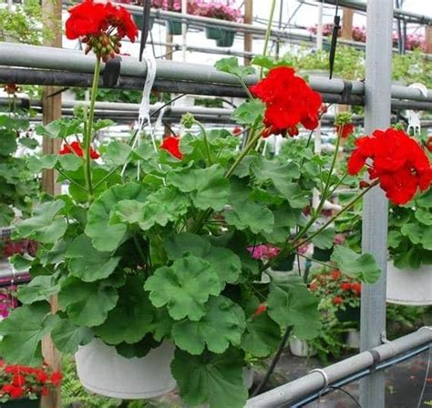 4 jenis bunga pengusir nyamuk bibit