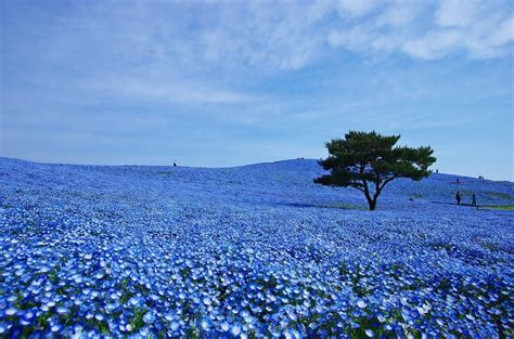 Baby Japan Blue world s most brilliant flower you ll want to jump into