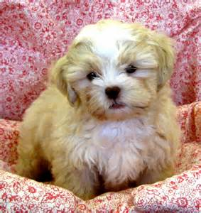 Sparkle s shih poo puppies for sale sunny day puppies