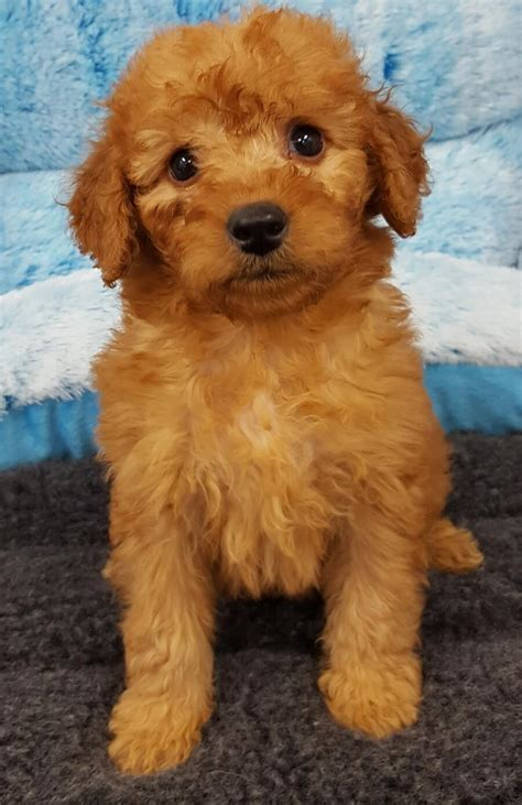 mini goldendoodle puppies for sale bc mini goldendoodle your pet store in newmarket