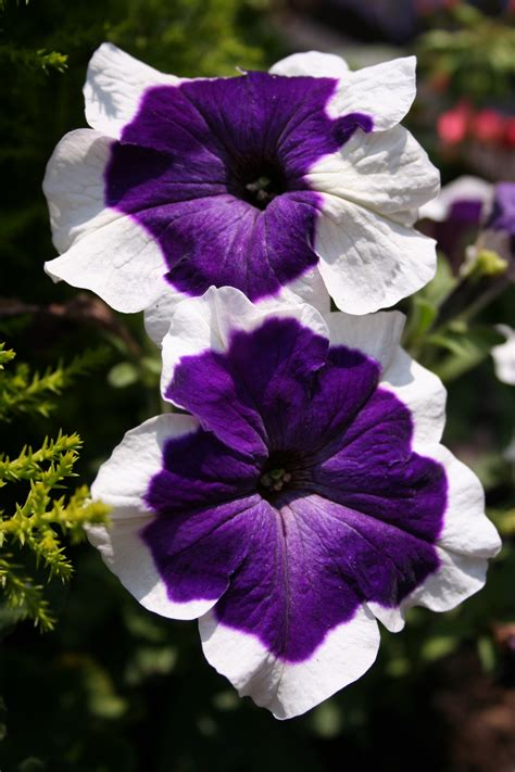 the 25 best petunia flower ideas on pinterest petunias deck flower pots and unique flowers