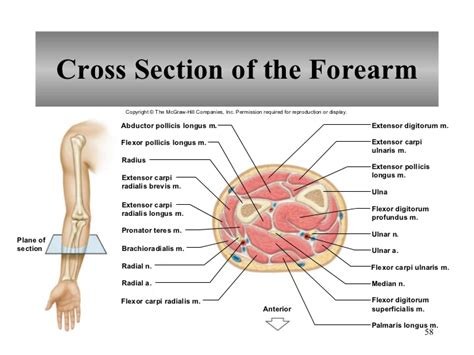 sections of the arm chapter 9 muscular system