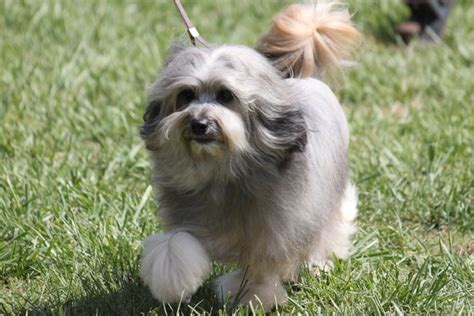 Swedish Colors by Lowchen Breed Information Lowchen Images Lowchen Dog