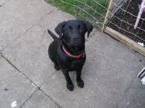 Month black labrador retriever fleet hampshire pets4homes