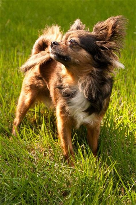 pics of long hair dark browm terriers brown long haired chihuahua google search chihuahua