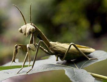 Origami Mantis - betty bones tattle chatter