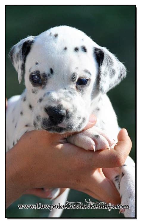dalmatian puppies for sale ohio 25 best ideas about dalmatian puppies for sale on dalmatians for sale