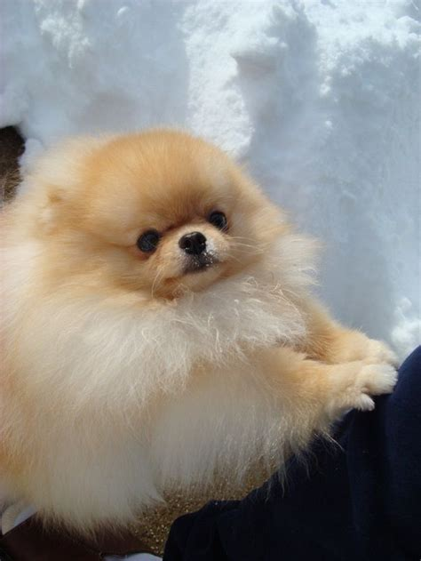 all about pomeranians best 25 pomeranian haircut ideas on pomeranian pups names of haircuts