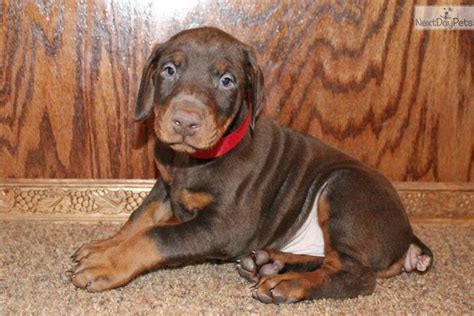 doberman puppies near me doberman pinscher puppy for sale near mississippi mississippi 1ade8839 7da1