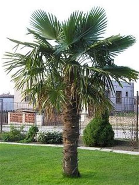 Chamaerops Excelsa Taille Adulte by Windmill Trachycarpus Fortunei True Green Nursery