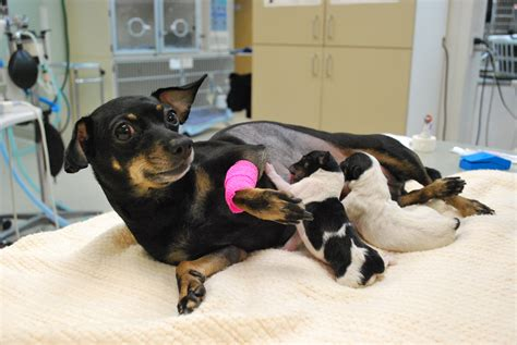 c section dog puppies at westvet c section saves life of mother and her
