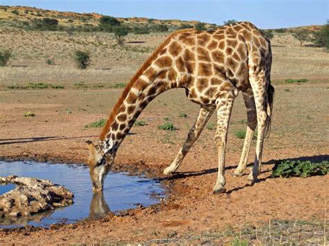 imagenes de jirafas tomando agua giraffe drinking water giraffe facts and information