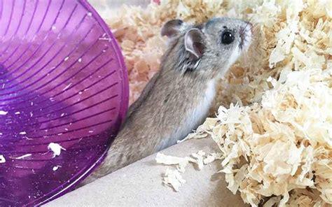 long  hamsters   guide  hamster life span