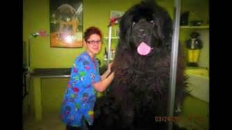 Giant newfoundland dog bred to hunt bears