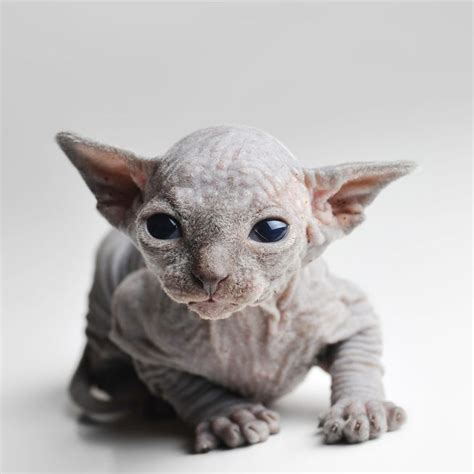you re wrong if you think sphynx cats are creepy mnn