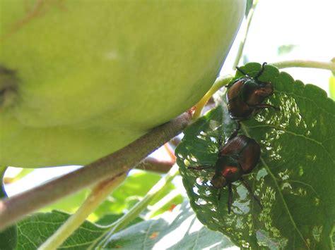 fruit trees jimmy cracked corn