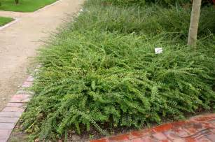 Evergreen Shrub With Purple Flowers - lonicera pileata oliv pflanzen null bruns site