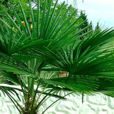 planting fan palm trees trachycarpus fortunei hardy chusan windmill fan palm