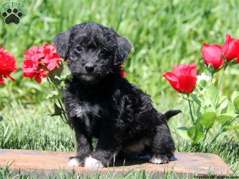 poo puppies for sale in pa a poo puppies for sale greenfield puppies