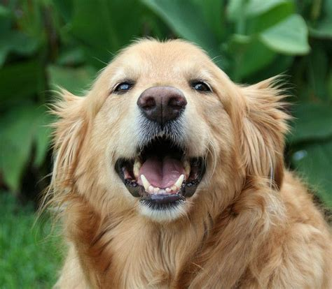 smiling golden retriever smiling golden retriever the cutest animals