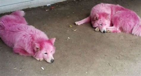 pink dogs two abandoned pink dogs saved by volunteers photos sputnik international
