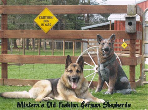puppies wilmington nc german shepherd puppies for sale wilmington nc dogs our friends photo