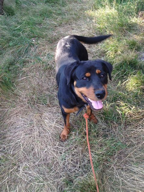rottweilers for sale colorado rottweiler for sale wolverhton west midlands pets4homes