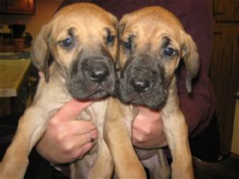 great dane puppies for sale in wisconsin great dane puppies in wisconsin
