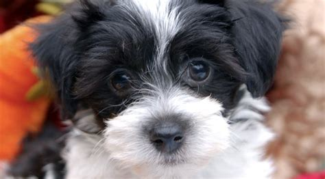 best puppy food for havanese meet the havanese locks and cuddles for rover