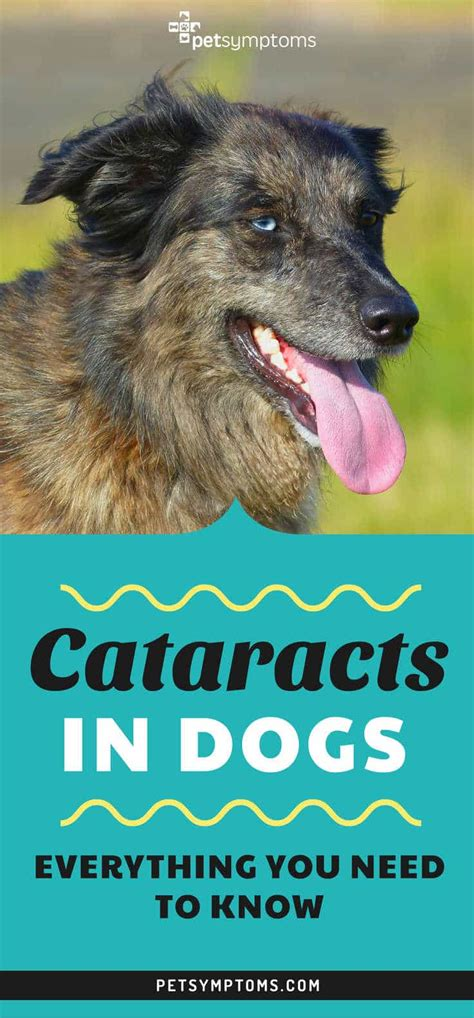 cataracts in dogs cataracts in dogs everything you need to