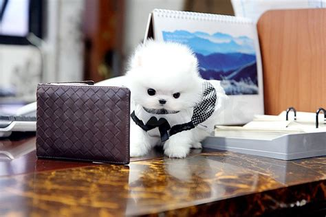 pomeranian puppies for sale in perth teacup pomeranian puppies for sale perth claseek australia
