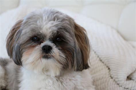 breeds similar to shih tzu free images white puppy portrait grey vertebrate breed lhasa apso