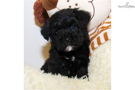 teacup yorkie poo for sale in nc teacup yorkie poo for sale in nc teacup yorkie poo for sale in ohio breeds picture
