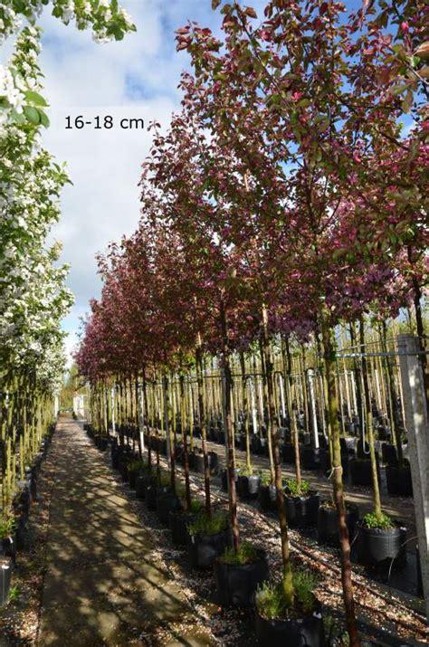 dekorative bäume für den garten klein bleibende b 195 164 ume pflanzen kaufen mr