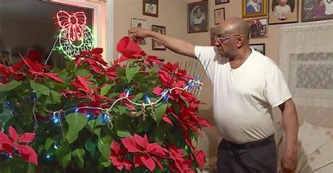 man grows  late wifes miracle poinsettia     years