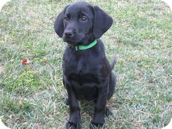 lab hound mix puppies redbone coonhound black lab mix breeds picture