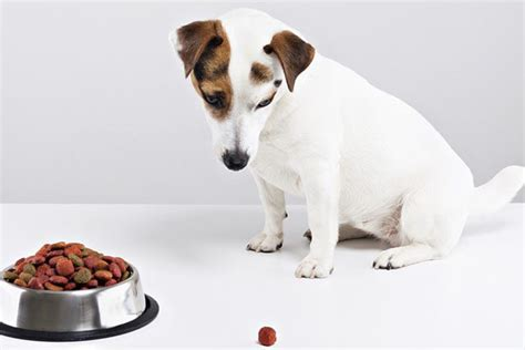 can puppies eat food can puppies eat food complete guide