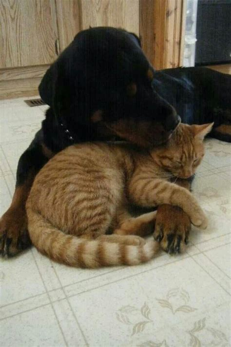 rottweiler and cats 17 best images about rottweiler daily on best dogs rottweiler and pets