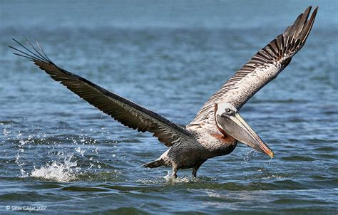 pelican water birds pinterest