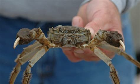 ten invasive species   chesapeake bay chesapeake bay program