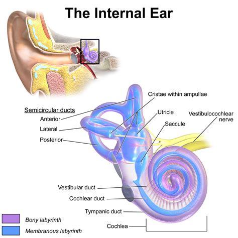 diagram of inner ear inner ear wikiwand