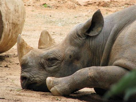 Obat Rhinos animals world news and review