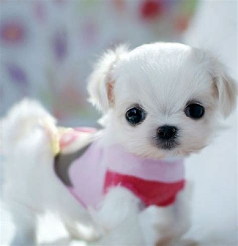 maltese puppies for sale in chicago 20 best cutest puppies images on animals puppies and adorable animals