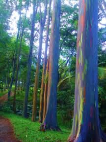 rainbow trees rainbow eucalyptus life s kaleidoscope