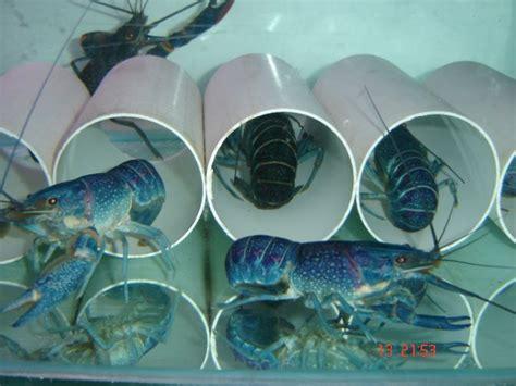 Lobster Air Tawar Malang crayfish or lobster air tawar crayfish or lobster air tawar