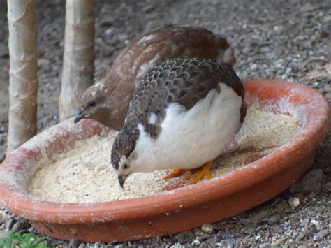 button quail bird breeds central