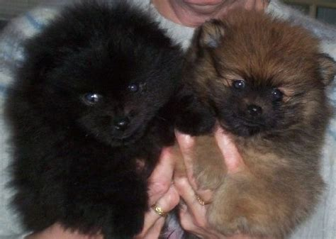 brown pomeranian puppies pomeranian puppy black and brown and pomeranians on