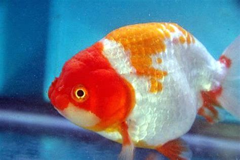 Anting Ikan Koki Goldfish ikan koki jenis ranchu aquariumkalbar