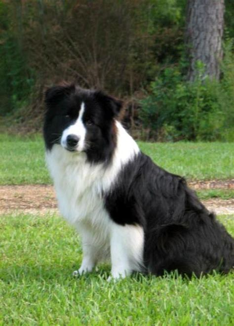 border collie puppies for sale in ohio border collie puppies for sale it s magic at wilsong